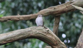 Spotted Flycatcher, Cockley Cley, 3rd September