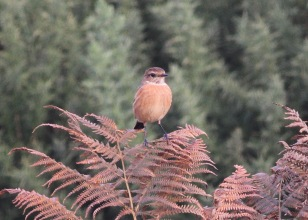 Stonechat, Gooderstone Warren. 3rd November