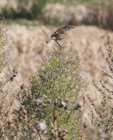 Stonechat, Gooderstone Warren 15th September