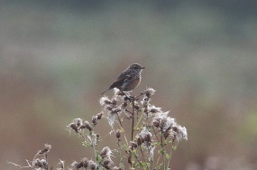 Stonechat, Gooderstone Warren, 3rd September