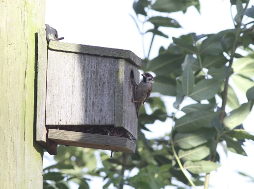 Tree Sparrow, Hilbrough, 3rd September