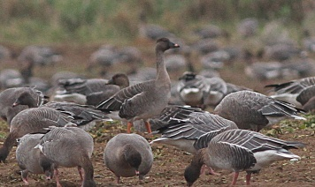 Tundra Bean Goose, Docking 21st December