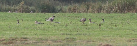 White-fronted Goose, Holkham 3rd November