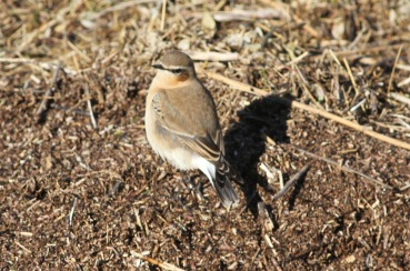 Wheatear, Burnham Overy Dunes, 23rd October