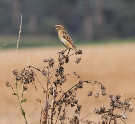 Whinchat, Gooderstone Warren 15th September