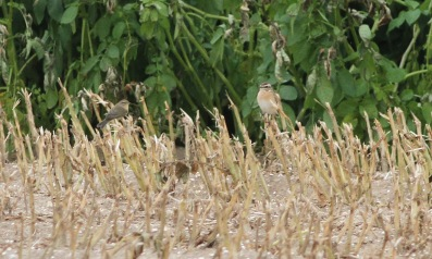 Whinchat and a Chiffchaff, Gooderstone Warren, 3rd September