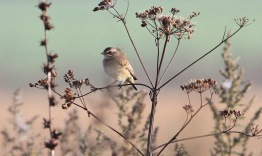 Whinchat, Gooderstone Warren, 11th September