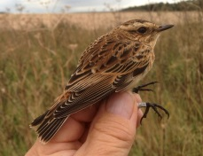 Whinchat, immature female, Gooderstone Warren, 22nd September