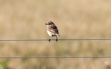 Whinchat, Gooderstone Warren, 3rd September