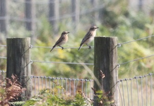 Whinchats, Gooderstone Warren 15th September