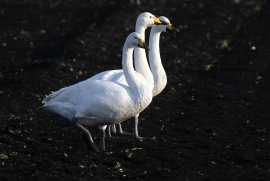 Whooper Swans, Wissington, 22nd December