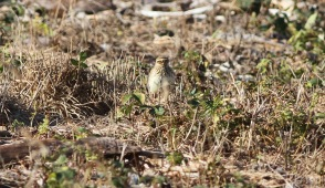 Woodlark, Cockley Cley 3rd October