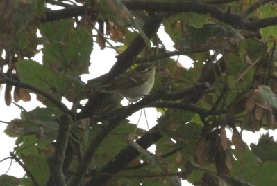 Yellow-browed Warbler, East Hills 17th September