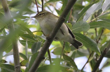 Yellow-browed Warbler, Titchwell 8th October