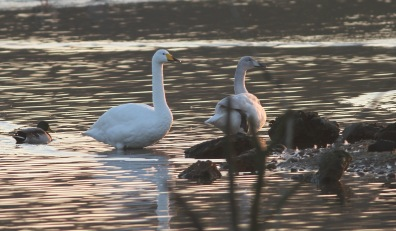 Whooper Swan, Nar Valley Fisheries 22nd January