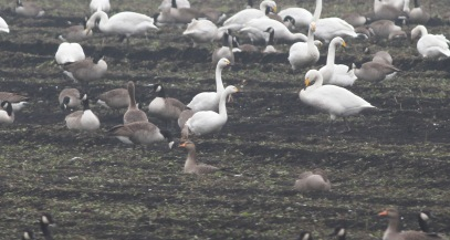 Bewick's and Whooper Swans, Wissington 7th January
