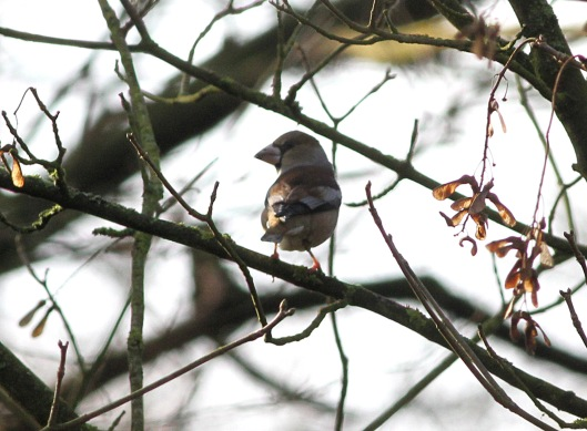 Hawfinch, Lynford 15th February