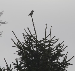 Hawfinch, Lynford 15th February