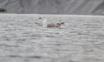 Greater-black backed Gull, Cockley Cley 19th February