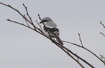 Great Grey Shrike, Cockley Cley 19th February