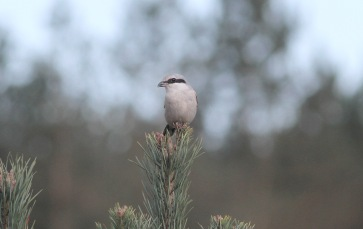 Great Grey Shrike, Cockley Cley 21st March