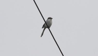 Great Grey Shrike, Cockley Cley 11th February