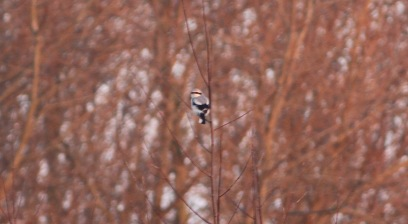 Great Grey Shrike, Nar Valley Fisheries 22nd January