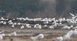 Glaucous Gull, Great Cressingham 21st January