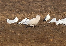 Glaucous Gull, Great Cressingham 27th January