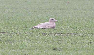 Glaucous Gull. Wissington, 7th January