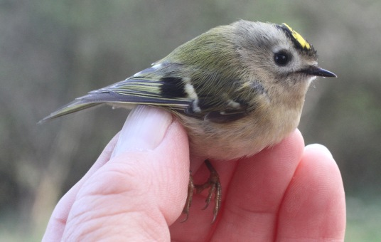 Goldcrest, Cockley Cley 1st April