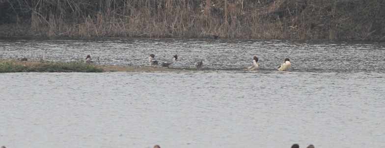 Goosander, Nar Valley Fisheries 18th February