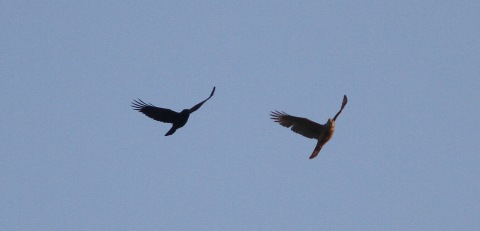 Male Goshawk with Carrion Crow, Cockley Cley 22nd April