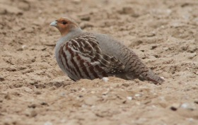 Grey Partridge, Hilbrough Estate, 14th March