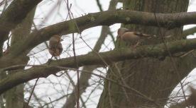 Hawfinch displaying Lynford 19th February