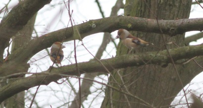 Hawfinch displaying Lynford 19th February