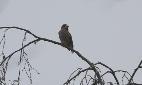 Hawfinch, Lynford 7th January