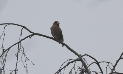 Hawfinch, Lynford 7th January