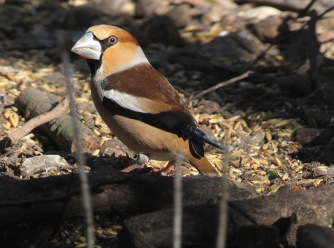 Hawfinch, Lynford 9th March