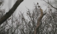 7 Hawfinch, Lynford 1st January