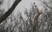 7 Hawfinch, Lynford 1st January