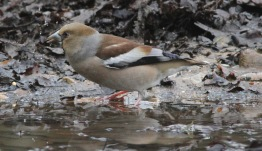 Hawfinch, Lynford 15th March