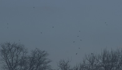 Hawfinch coming into roost at Lynford, 18th January