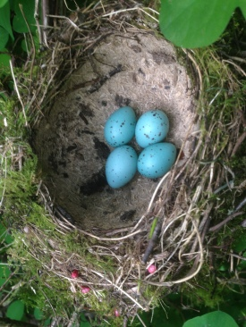 Song Thrush nest Cockley Cley 17th April
