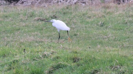 Little Egret, Nar Valley Fisheries 18th February