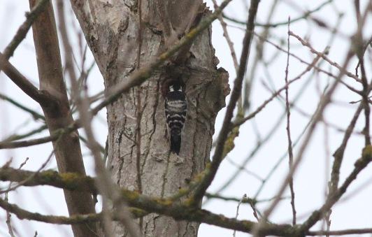 Lesser-spotted Woodpecker, Santon Downham 19th February