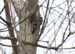 Lesser-spotted Woodpecker, Santon Downham 19th February