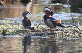 Mandarin, Santon Downham, 26th March