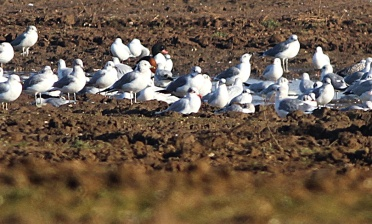 Mediterranean Gull, Great Cressingham, 24th January