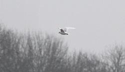 Mediterranean Gull, Great Cressingham 15th February